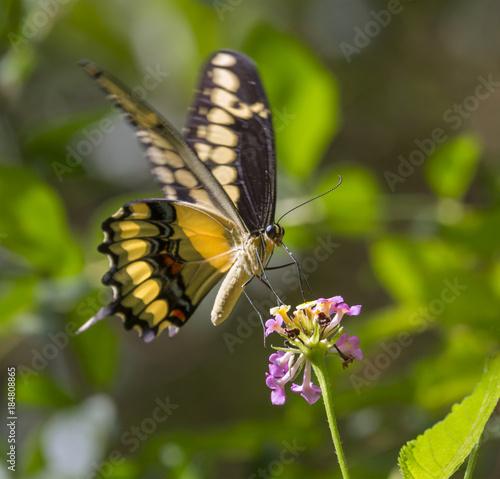 Obraz na plátně King Swallowtail or Thoas Swallowtail (Papilio thoas) feeding on lantana
