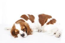 Sleeping Dog. Dog Sleeping In Studio. White Background. Cavalier King Charles Spaniel Sleep. Cute Dog.