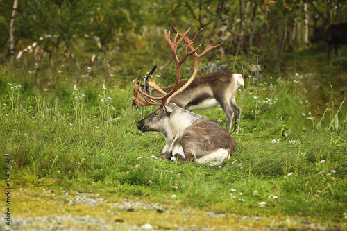 Fotobehang Ree Adult horned deer lying on grass