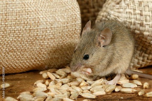 Fotografia  closeup the mouse eats the grain near the burlap bags on the floor of the pantry