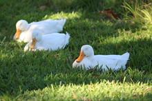 Three White Ducks Sleeping Whi...