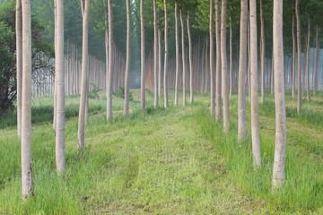 bosco con alberi di pioppi