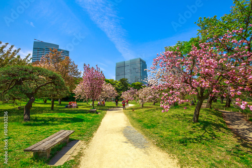 Landscape of Japanese sakura garden in Hamarikyu Gardens, Tokyo, Chuo district, Japan. Shiodome buildings and people on benches background. Spring concept, Hanami and outdoor life. Sunny day, blue sky
