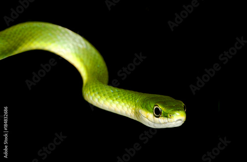Closeup of a Rough Green Snake Isolated on Black