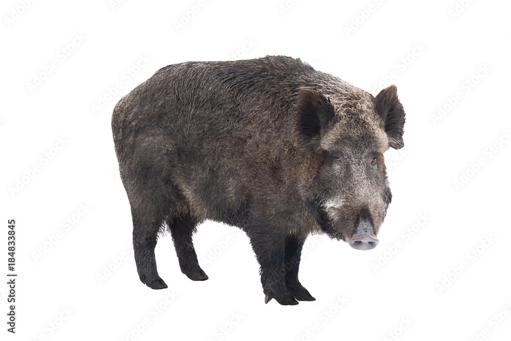 Fototapeta Wild boar, also wild pig, a on white background