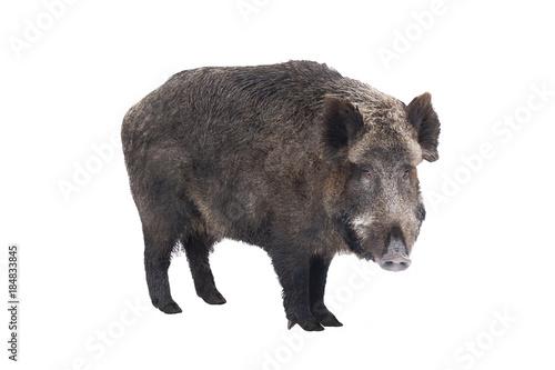 Obraz Wild boar, also wild pig, a on white background - fototapety do salonu