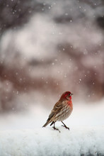 House Finch On A Wintry Aftern...