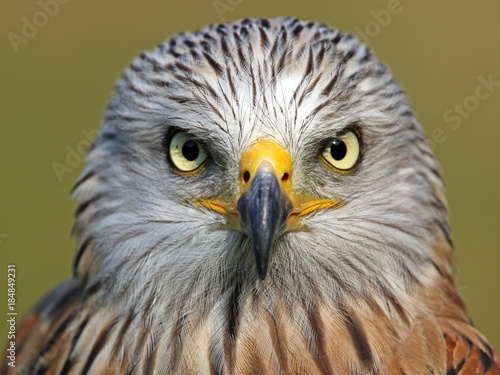 Photo  Red kite