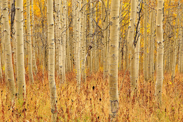Fototapeta Brzoza Golden aspens in the Wasatch Mountains, Utah, USA.
