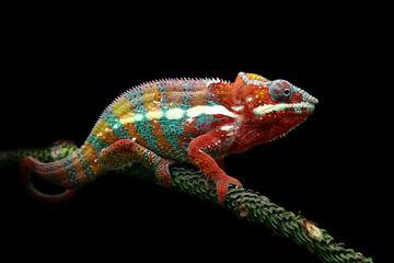 Chameleon panther with black background