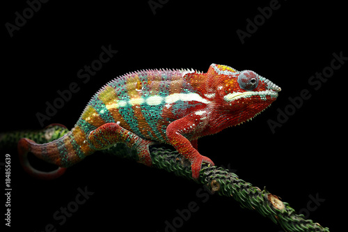 Poster de jardin Cameleon Chameleon panther with black background
