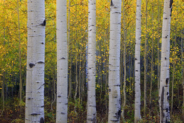 Fototapeta Brzoza Fall aspen glade background, Utah, USA.