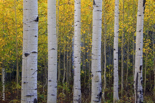 Fall aspen glade background, Utah, USA.