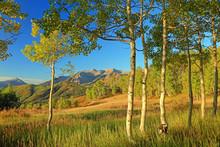 Fall Aspen Glade Background, U...