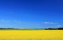 Yellow Farm Field In Rural Ida...