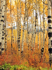 Fototapeta Brzoza Yellow aspen fall splendor, Utah, USA.