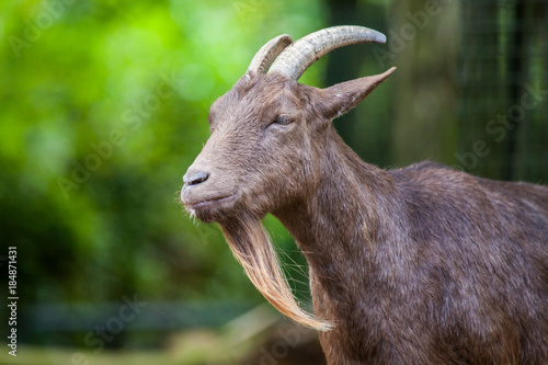 Photo  portrait of a german male goat with a long beard