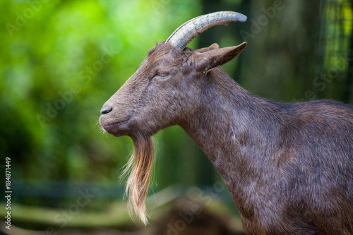 portrait of a german male goat with a long beard Poster