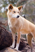 Dingo Dogs Are Native Dogs In ...