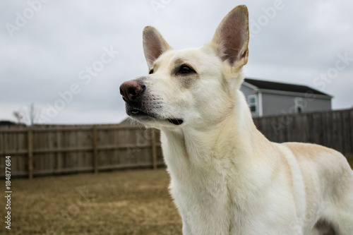 White german shepherd on alert - Buy this stock photo and explore ...
