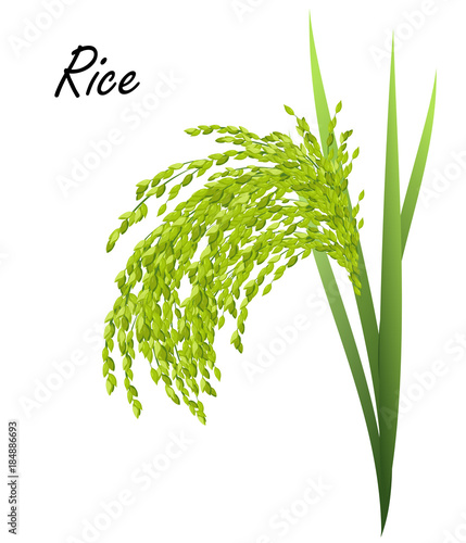 rice oryza sativa asian rice hand drawn realistic vector illustration of green rice plant on white background buy this stock vector and explore similar vectors at adobe stock adobe stock rice oryza sativa asian rice hand