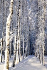 Fototapeta Brzoza Snow covered birches in a sunny winter forest