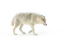 A Lone Arctic Wolf (Canis Lupu...