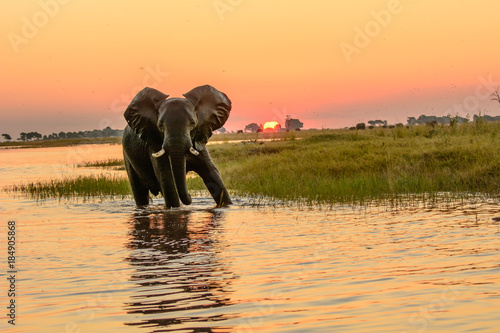African elephant bathing in the Chobe river at dusk