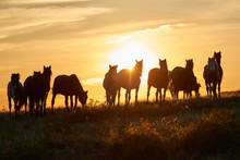 Horses Graze On Pasture At Sun...