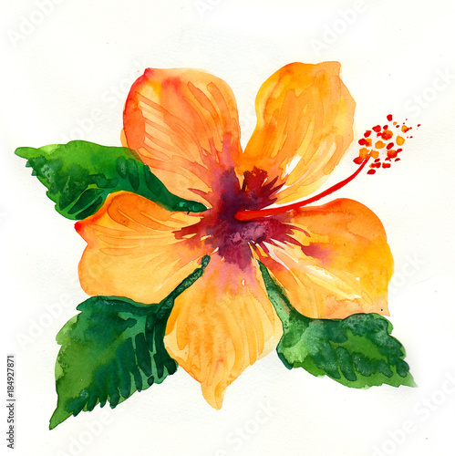 Watercolor Painting Of A Yellow Hibiscus Flower Buy This Stock