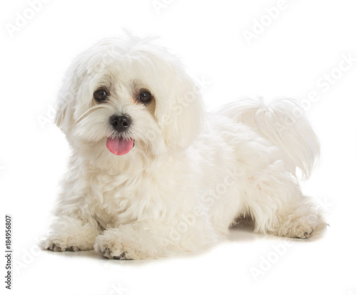 Valokuvatapetti Lovely bichon on white background