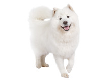 Purebred Samoyed Dog, Isolated...