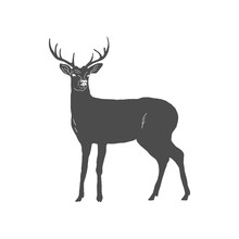 Hand Drawn Deer Isolated On Wh...