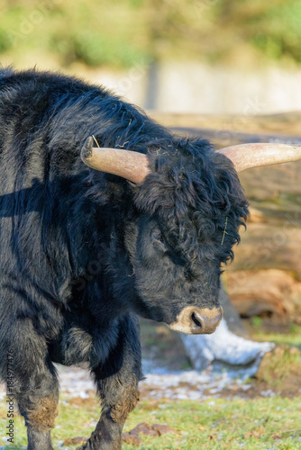 Fotografie, Obraz  Color outdoor natural animal head shot portrait of a single isolated black auroc