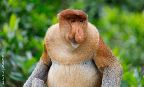 In de dag Aap Portrait of Wild Proboscis Monkey in Sabah Malaysia
