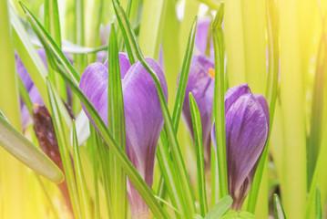 Panel Szklany Podświetlane Do pokoju Close-up macro beautiful violet lush vibrant crocuses, spring flowers on soft focus blurred toned bright green floral background. Gentle spring romantic artistic postcard image desktop wallpaper.