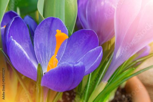 Foto op Plexiglas Krokussen Close-up macro beautiful violet lush vibrant crocuses, spring flowers on soft focus blurred toned bright green floral background. Gentle spring romantic artistic postcard image desktop wallpaper.