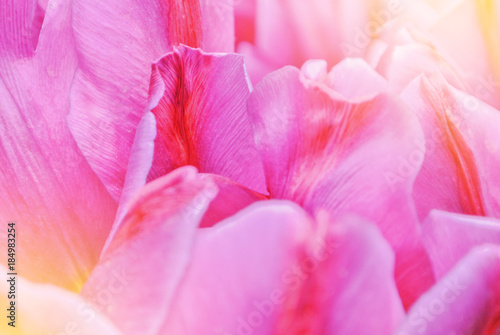 Close Up Macro Beautiful Pink Violet Red Lush Vibrant Tulip Petals