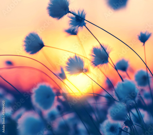 Spring landscape with arctic cotton in the rays of sunset