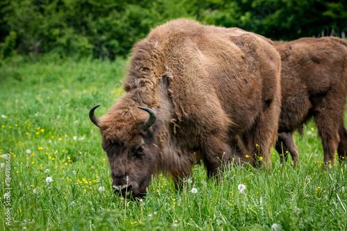 La pose en embrasure Bison Wisent - European Bison