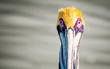 Pelican, Las Coloradas