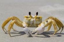 Atlantic Ghost Crab (Ocypode Q...