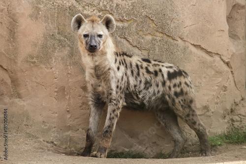 Hyène Spotted hyena (Crocuta crocuta)