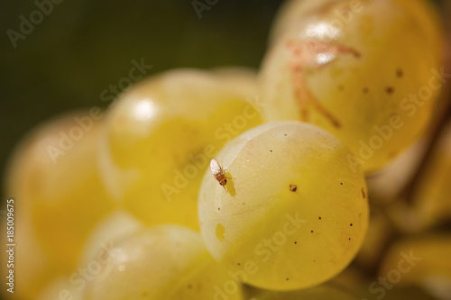 fruit fly on white wine berry