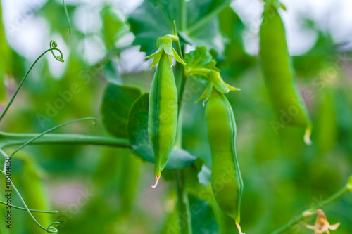 Selective focus on fresh bright green pea pods on a pea plants in a garden. Growing peas outdoors and blurred background.