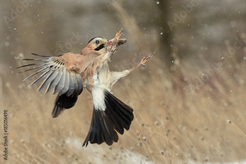 Fotografía Eurasian jay (Garrulus glandarius) in flight with prey in beak