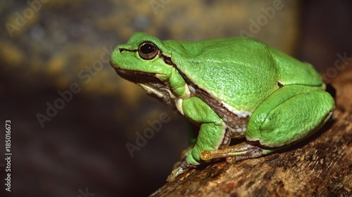 European green tree frog (Hyla arborea formerly Rana arborea) Wallpaper Mural