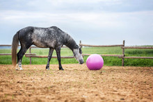 Horse Playing With A Big Pink ...