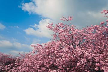 FototapetaKirschblüte