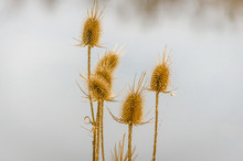 Dry Thistle. Dry Thistle At Th...
